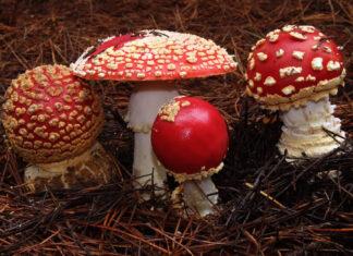 انواع قارچ کوهی